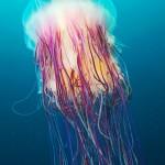 Jellyfish, Alexander Semenov